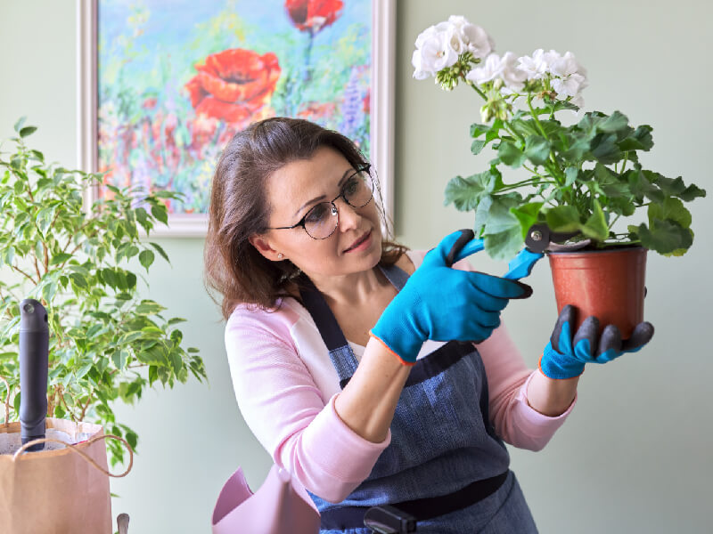 Woman cuts geranium before hibernation