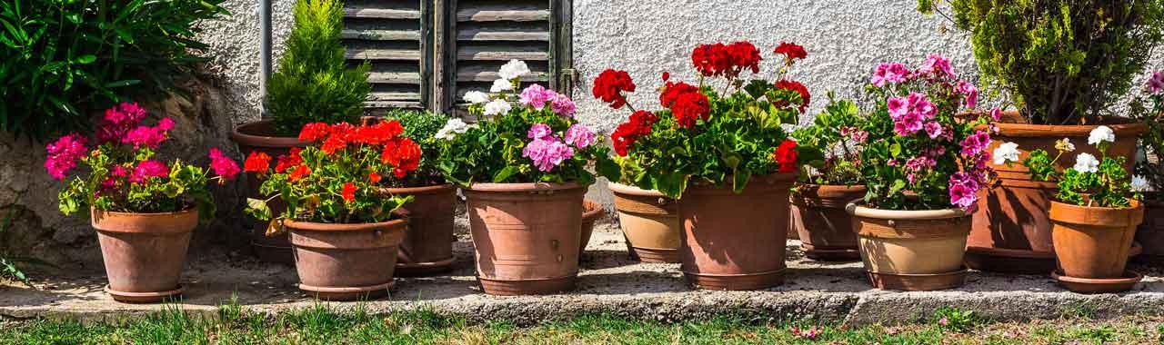Des géraniums côte à côte devant une maison